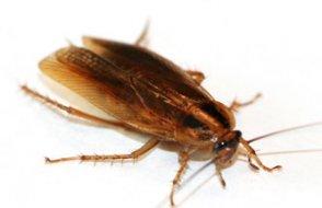 Hamam böcekleri bahar temizliğinde gider