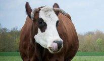 Suni dölleme yapılacak 15 bin inek kesime gönderildi