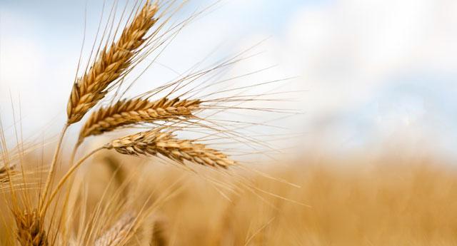 Hükümetin 'makarna ihracatı için buğday ithalatı' savunması doğru çıkmadı
