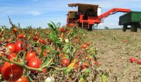 Güz domatesi eken bu yıl zarar etti