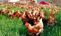 Tavuk eti yerken bir daha düşünün!