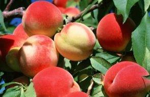 Rusya'dan Türkiye'ye şimdi de şeftali ve nektarin darbesi