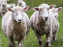 300 koyun dağıtımı projesi başladı ama bir sorun var...