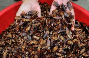 Çin devasa çiftliklerde neden hamam böceği üretiyor?