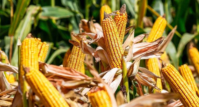 Buğday ve mısırda büyük artış