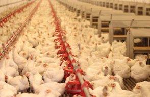 Sadece Marmara ve Ege'de 870 tavuk üreticisi dükkanı kapattı