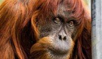 Endonezya: Ülkeden kaçırılmaya çalışılan küçük orangutan havalimanında kurtarıldı