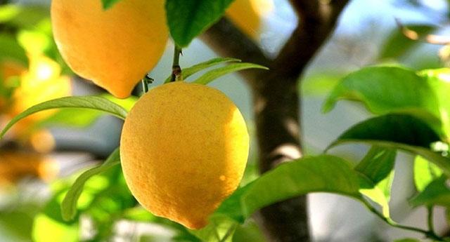 Limon ve zencefil Korona'ya karşı etkili mi?