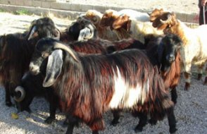 Üzerine 3. kattan keçi düşen adam ağır yaralandı