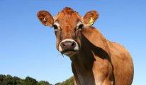 Türkiye'ye Rus sığır eti sevkıyatı bu yıl başlıyor