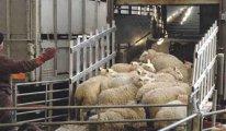 Devletin dağıttığı hayvanlar vebadan öldü, insanlar da risk altında