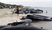 145 balina birden karaya vurdu