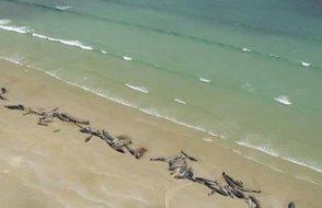 Yeni Zelanda'da korkunç manzara: Onlarca balina karaya vurdu