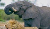 Kaçak gergedan avcısını filler öldürüldü, aslanlar yedi