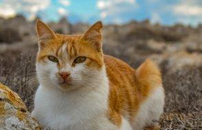 Kedi severlere üzücü haber:  Koronavirüs vizonlardan sonra kedilere de..