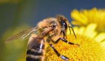 Bal arısı zehri laboratuvarda kanser hücrelerini yok etti