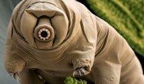 Mikroskobik su ayıları nasıl tank kadar dayanıklı olabiliyor?
