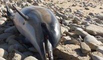 Yüzlerce yunus Fransa kıyılarına vurdu