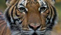 New York'ta bulunan hayvanat bahçesindeki kaplanda Covid-19 tespit edildi