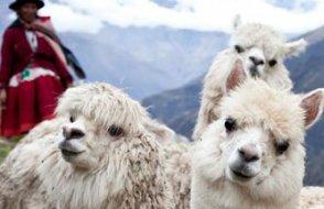 Lamalar,  Covid-19 tedavisinde umut oldu