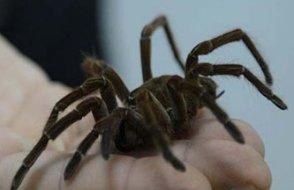 'Örümcek Adam' olmak için kendilerini örümceğe ısırtan çocuklar hastanelik oldu