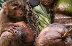 Tayland'da maymunların meyve toplayıcısı olarak çalıştırıldığı ortaya çıktı