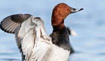 Nesli tükenen kuşların avlanmasına oy birliğiyle karar verildi!