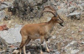 Keçileri katlettirecek ihale iptal edildi
