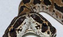 Asya'nın en tehlikeli çift başlı engerek yılanı bulundu: Tek ısırıkla öldürüyor