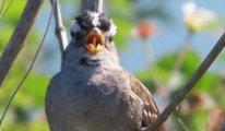 Koronavirüs karantinası, kuşların ötüşlerini nasıl değiştirdi?