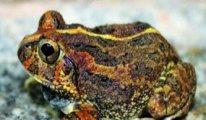 Yeni bulunan kurbağa türüne Bengaluru kentinin adı verildi