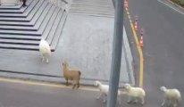 Nevşehir Belediyesi: 1 koyun,1 keçi, 3 kuzu tarafından esir alındık