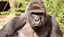 Hayvanat bahçesinde 18 gorilin Covid-19 testi pozitif çıktı