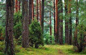 Yanan ormanı yeniden yeşertmek için saklanan tohumları çaldılar!