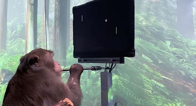 Musk'un beyne çip projesi görücüye çıktı: Video oyunu oynayan maymun