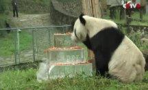 Dünyanın en yaşlı erkek panda Pan Pan 31 yaşında öldü