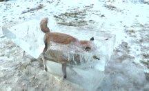 Donmuş olarak bulunan tilki görenleri şaşırttı