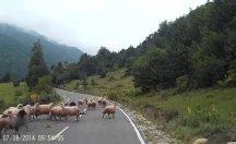 Sonunda gerçek oldu; isyan eden koyunlar çobana saldırdı!