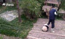 Sevimli Panda yavrusu, bakıcısına öyle bir sarıldı ki!