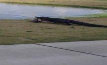 Golf sahasına giren timsah herkesi şaşırttı