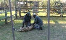 Çita bakıcılara saldırdı...