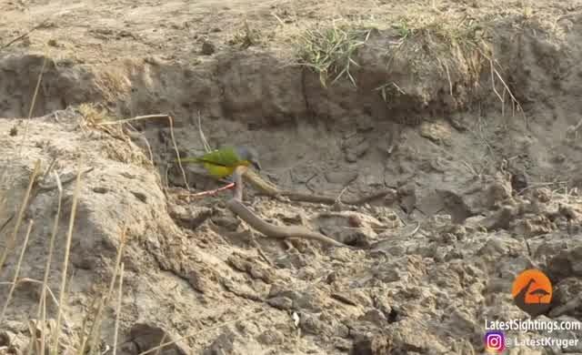 Küçük kuş, zehirli yılanı önce avladı, sonra da yedi