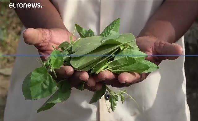 Yemenli aileler yaprak yiyerek hayatta kalmaya çalışıyor