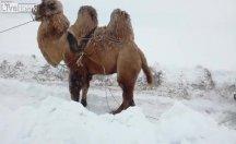 Kara saplanan aracı deve ile çektiler