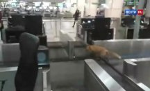 Havaalanı terminal binasına tilki daldı