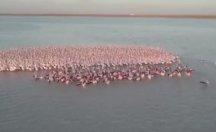 Pembe Flamingoların muhteşem görüntüsü